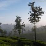 Wayanad - Teeplantage