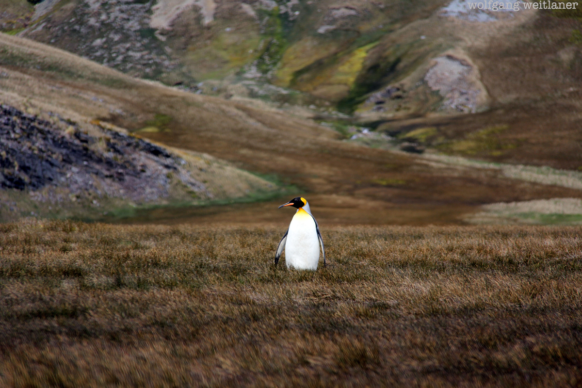 pinguin-kl