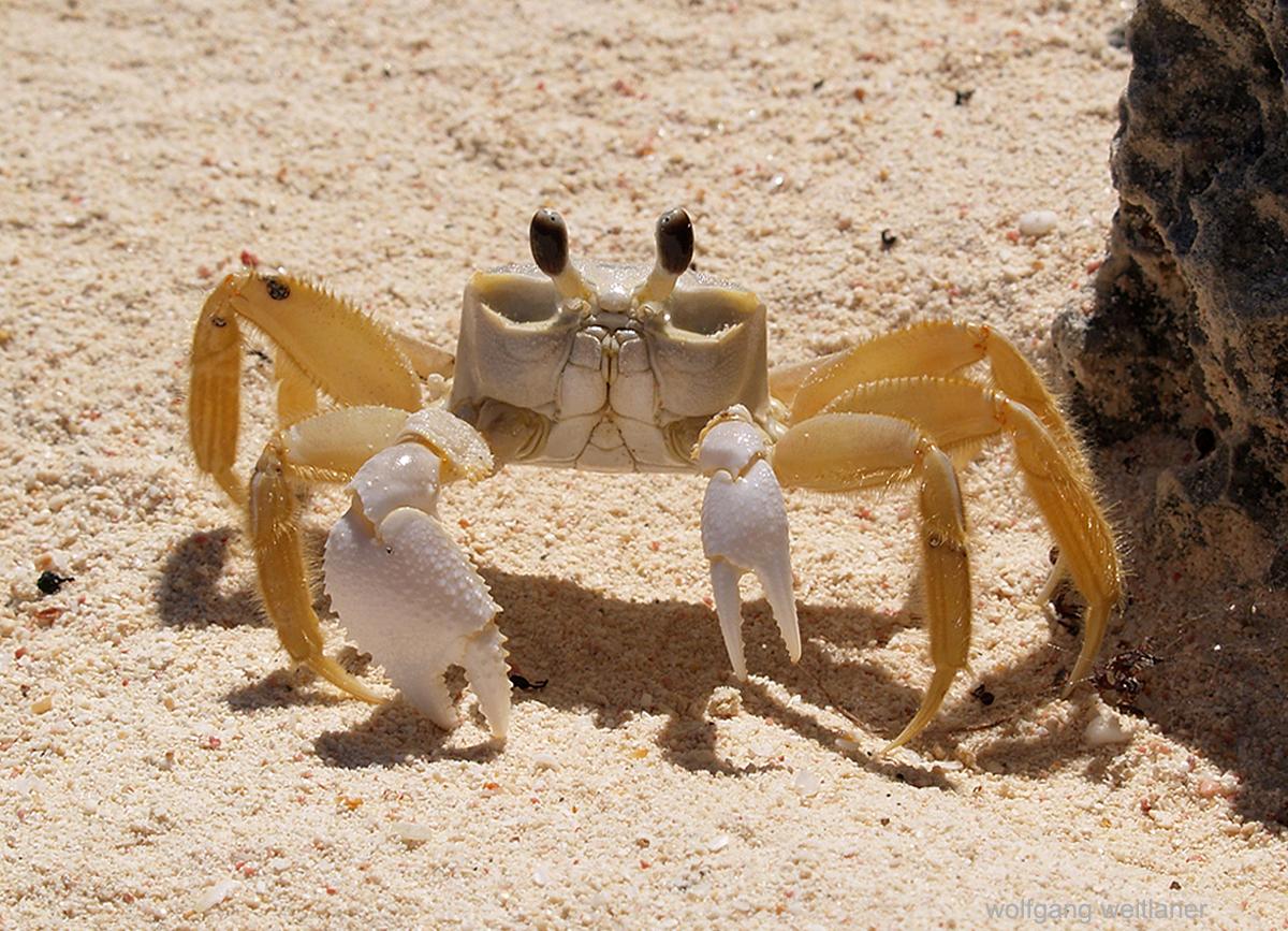 Krabbe Dominica