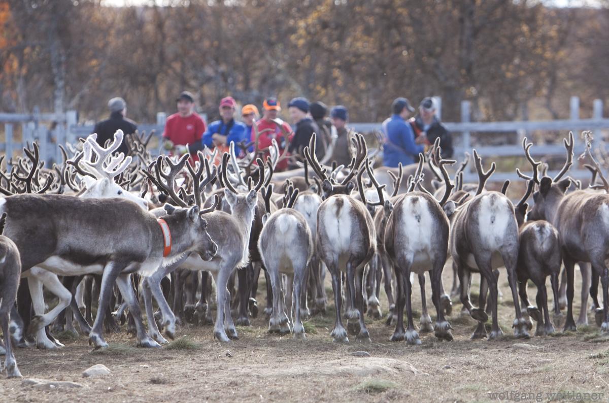 Rentiere - schwed Lappland