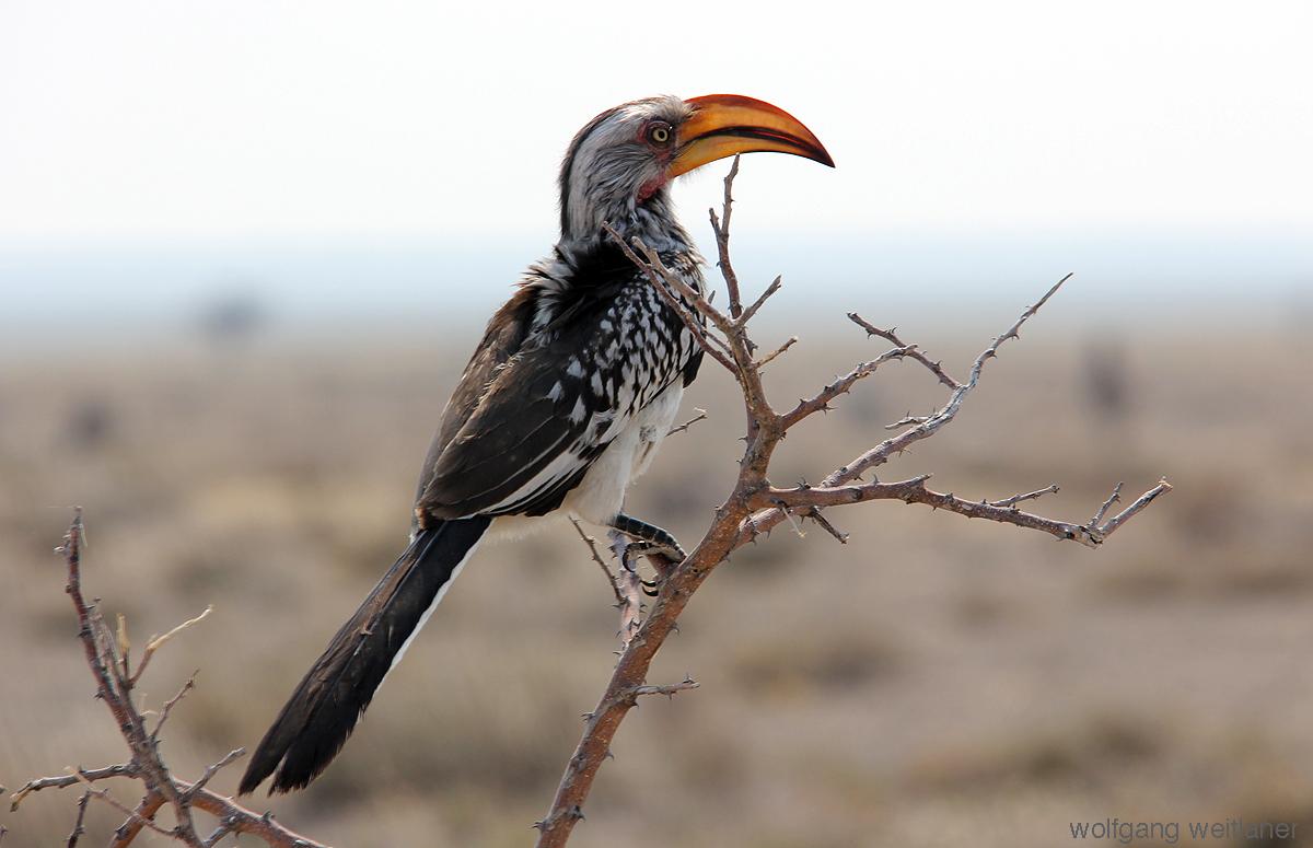 Gelbschnabeltoko, Etosha Nationalpark, Namibia