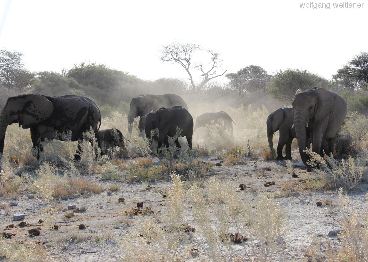 Elefantenherde - Namibia
