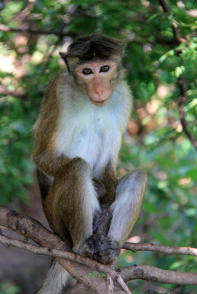 Affe-Sri-Lanka