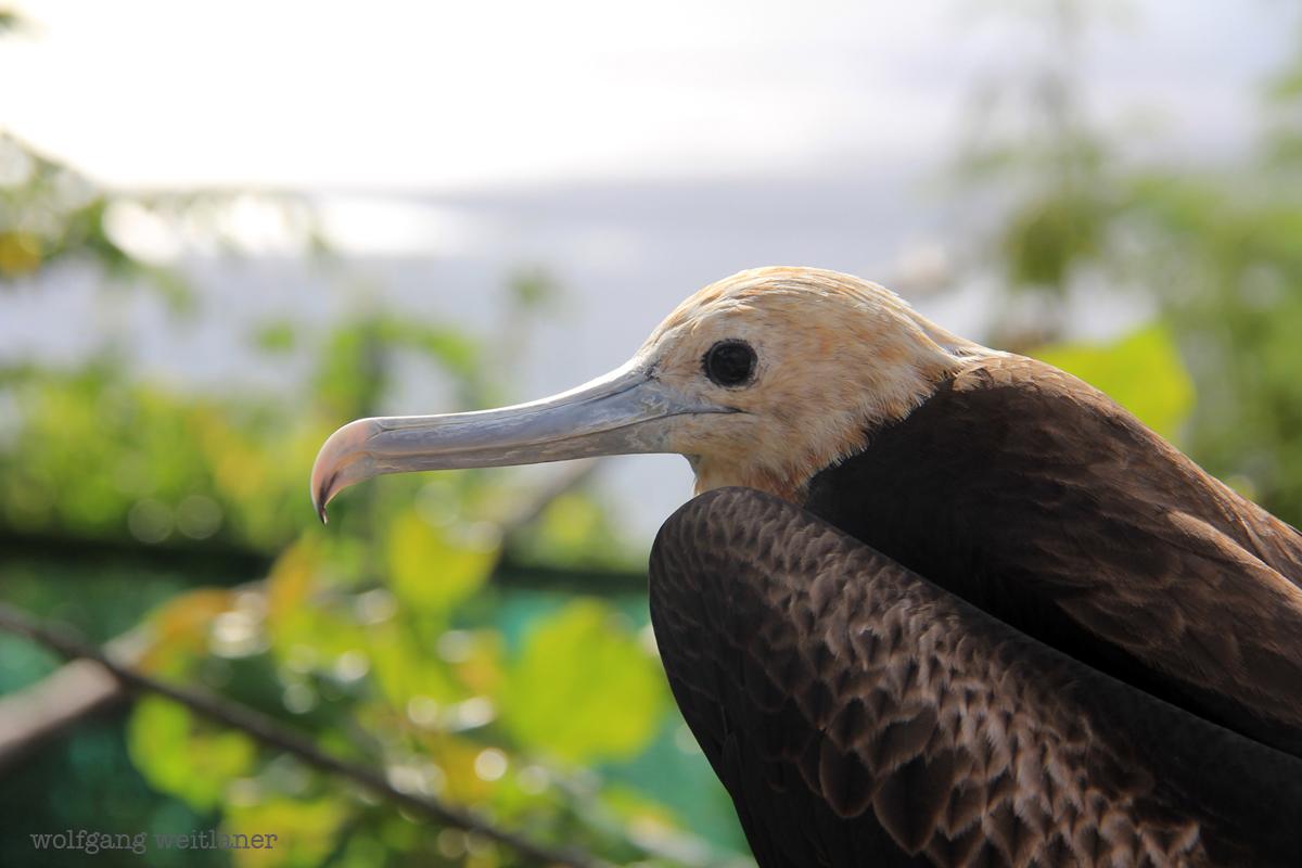 Fregattvogel Tai Christmas island