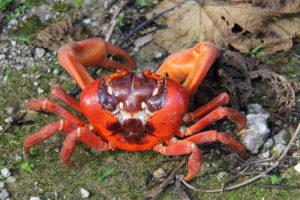 Rote Landkrabbe, Christmas Island, West Australien