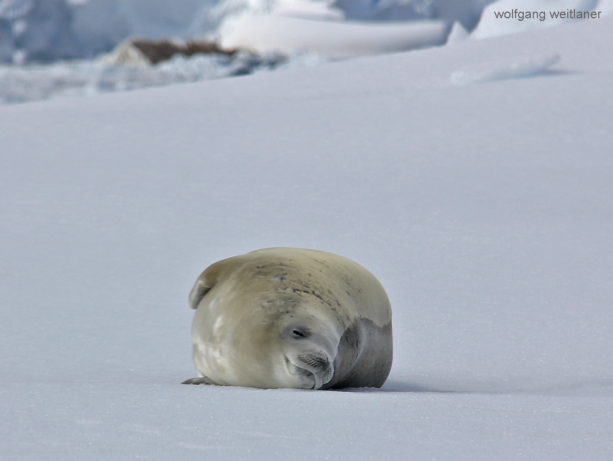 Schlafende Robbe, Cuverville, Antarctica