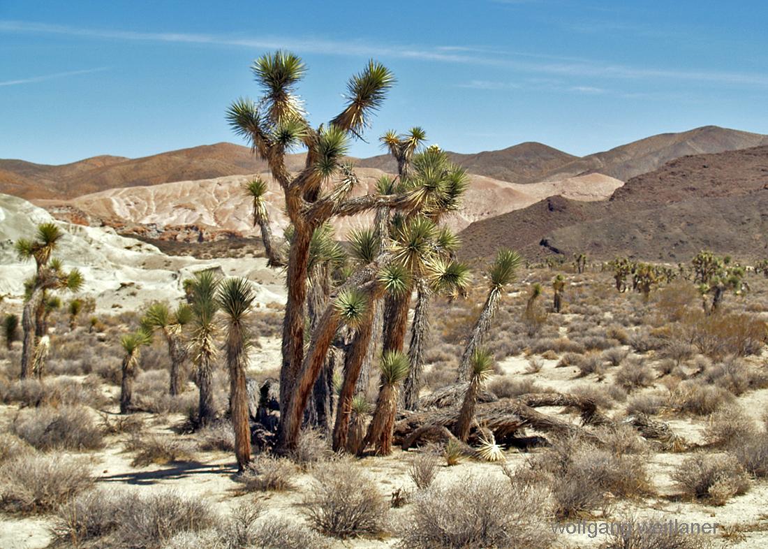 Joshua-Tree in der Mojave-Desert, Kalifornien, USA