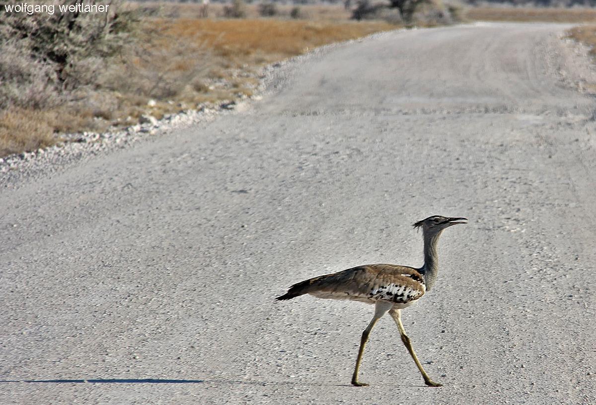 Riesentrappe - Namibia - Ethosha Nationalpark