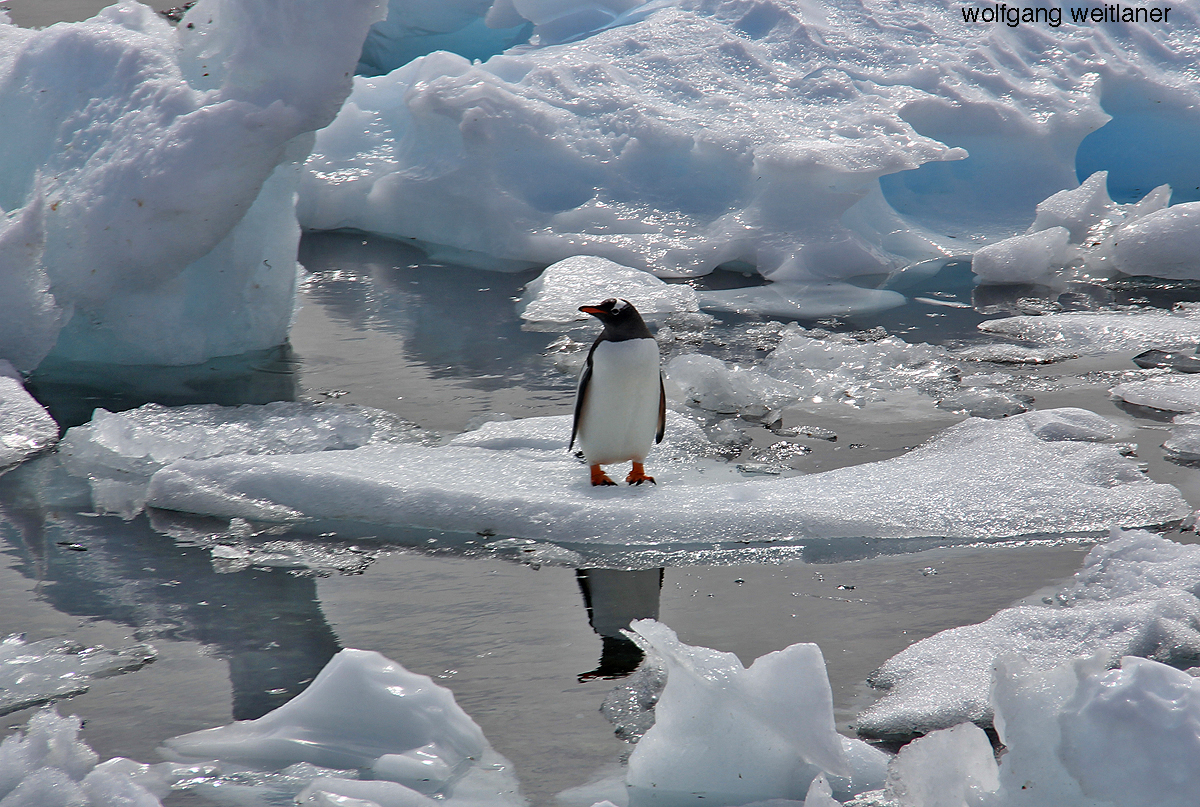Ein Pinguin, Damoy, Wiencke Island, Antarctica