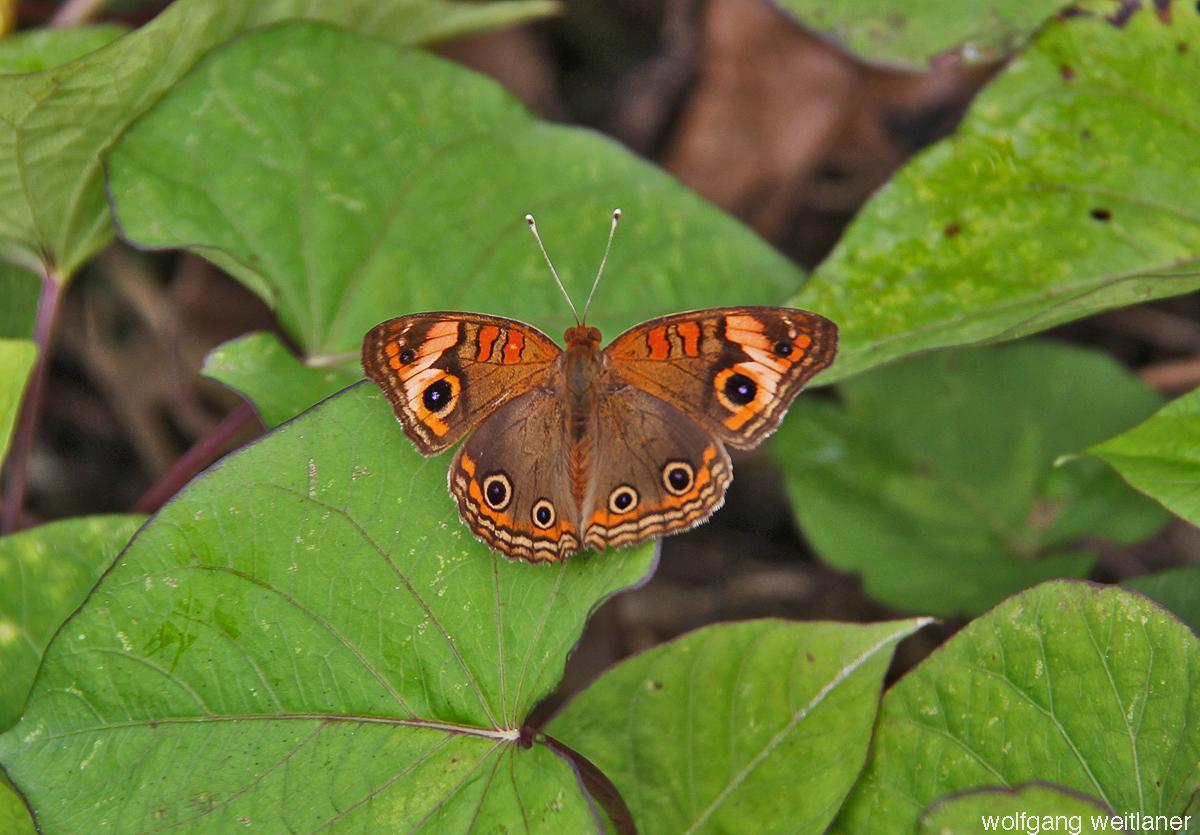 Schmetterling Dominica