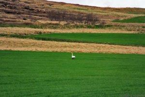 Eine Gans, im Frühling von Akureyri nach Husavik, Island
