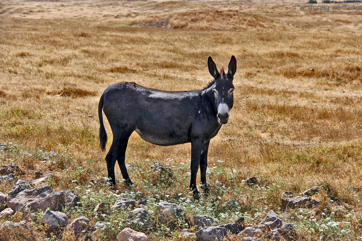 Ein Esel, Oman salalah