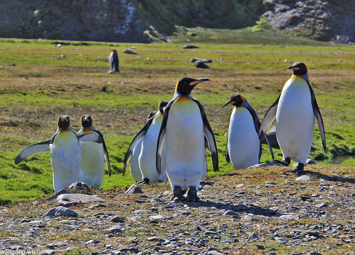 Königspinguine, Fortuna Bay, South Georgia, Antarctica