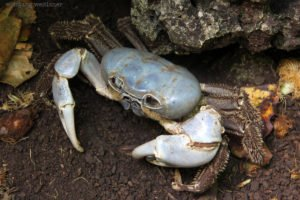 Blue Crab, Weihnachtsinsel (Christmas Island), West-Australien