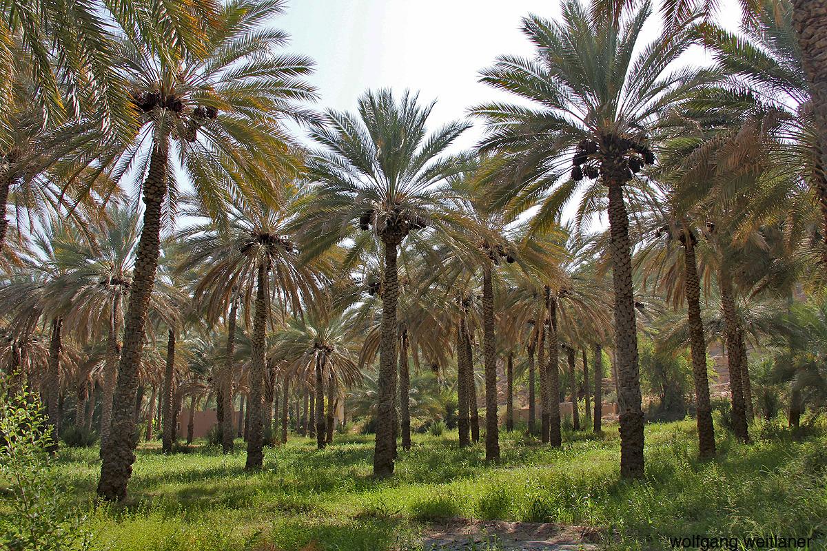 Dattelpalmen Oman
