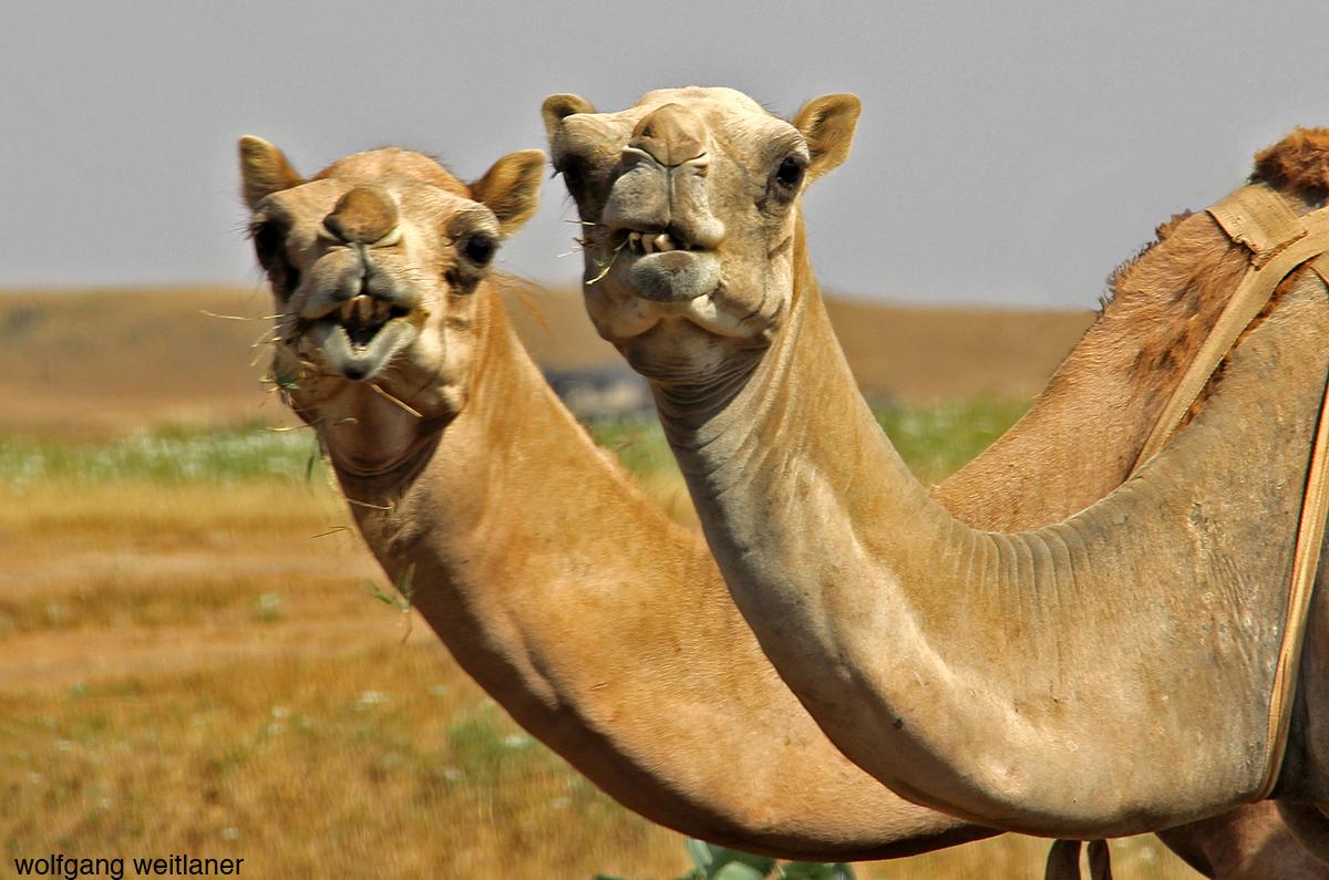 Dromedar Oman