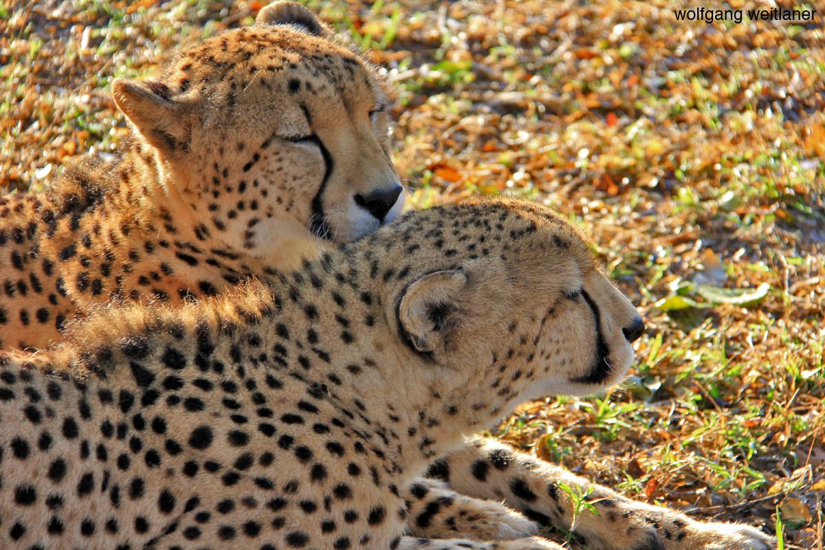 Geparden Südafrika