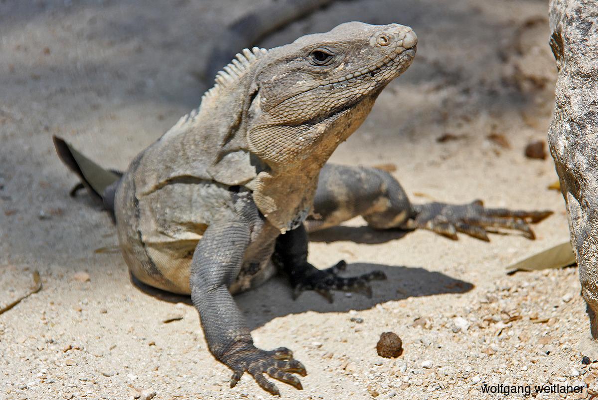 Iguana mexiko