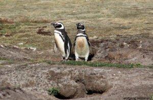 Magellan Pinguine, Carcass Island, Falkland Inseln, Südatlantik,