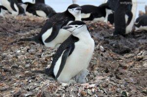 Zügelpinguin mit Nachwuchs, Half Moon Island, Antarctica