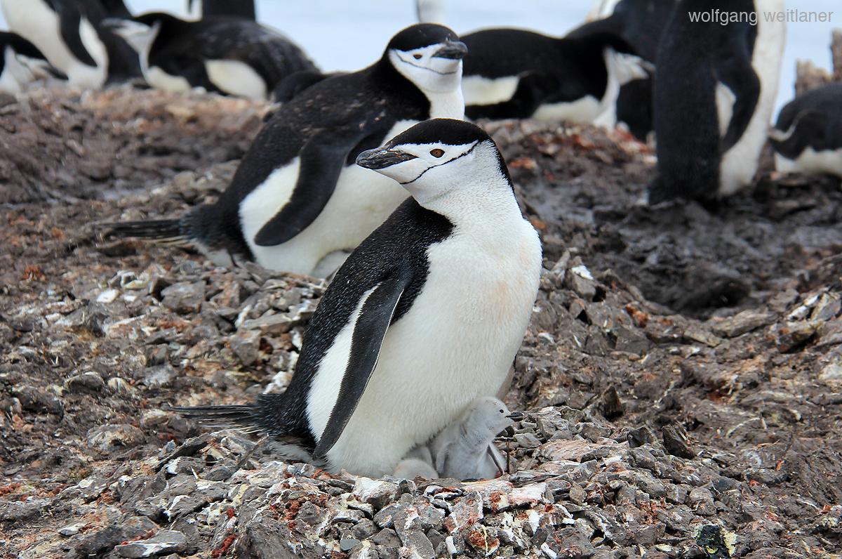 Zügelpinguin, Antarktis