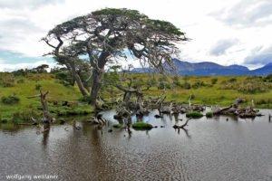 Knorriger Baum, nahe Puerto Williams, Tierra del Fuego, Chile
