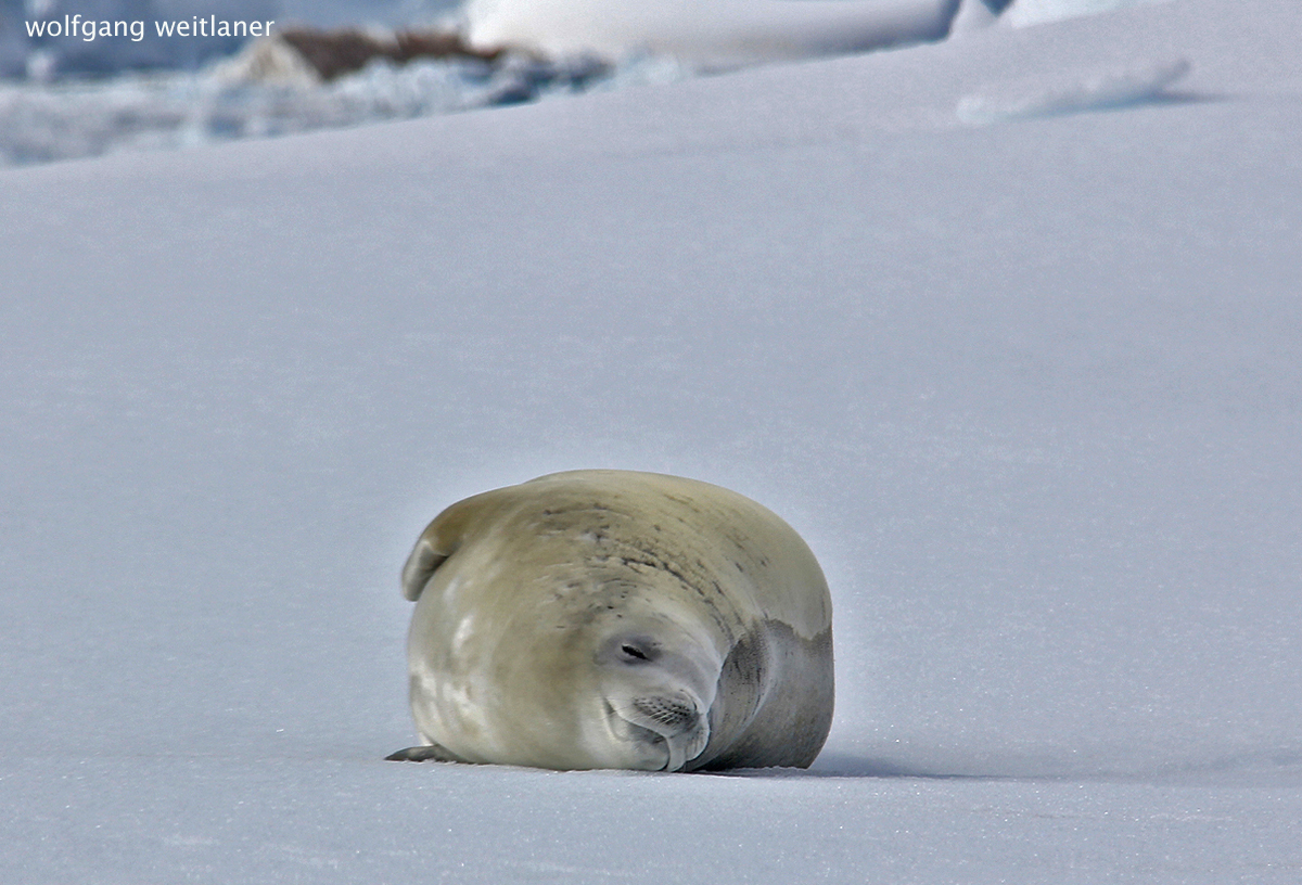 Weddellrobbe, Antarktis