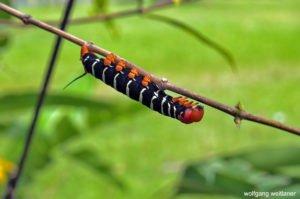 Raupe eines Schwärmers, Botanischer Garten, Roseau, Dominica