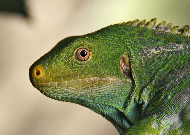 Crested Iguana, Likuliku Resort, Mamanucas, Fiji