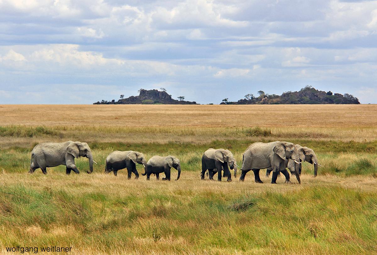 Elefantenherde Serengeti