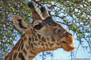 Giraffen im Serengeti National Park, Tansania