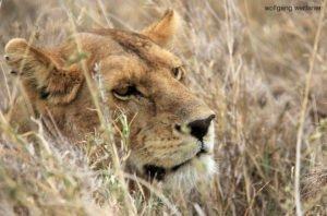 Löwen im Serengeti National Park, Tansania