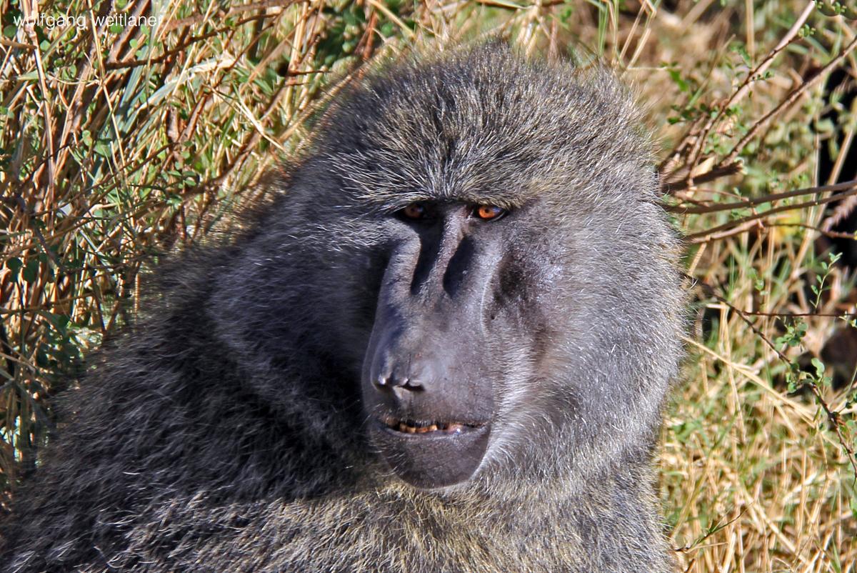 Pavian im Seregeti National Park, Tansania