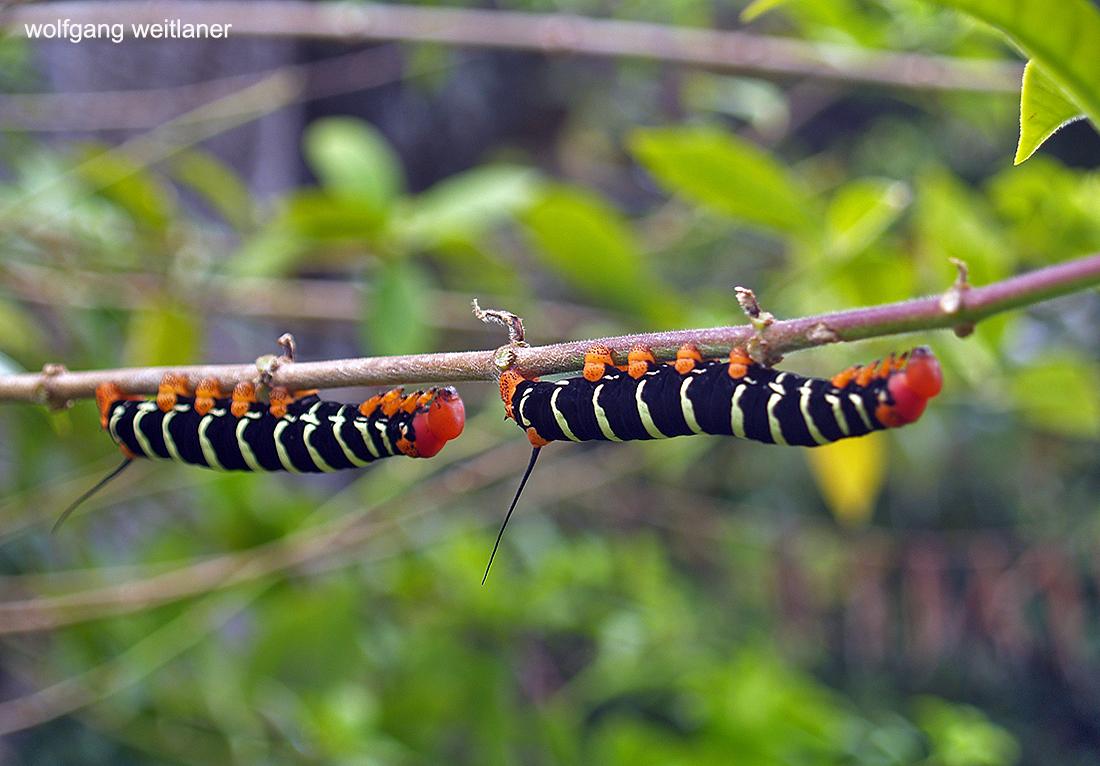 Zwei Raupen eines Schwärmers, Botanischer Garten Roseau, Dominica