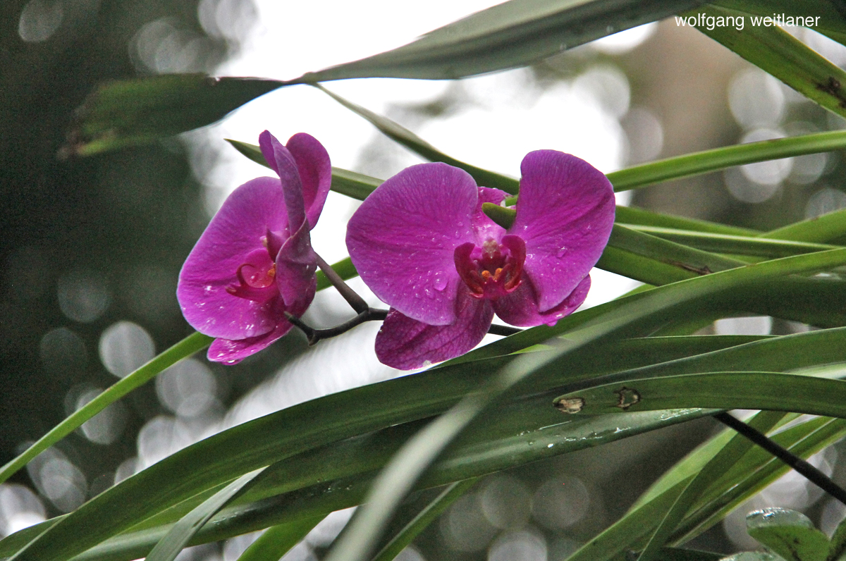 orchidee penang hill