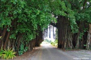 Banyan-Tree, Aitutaki, Cook Inseln, Südsee