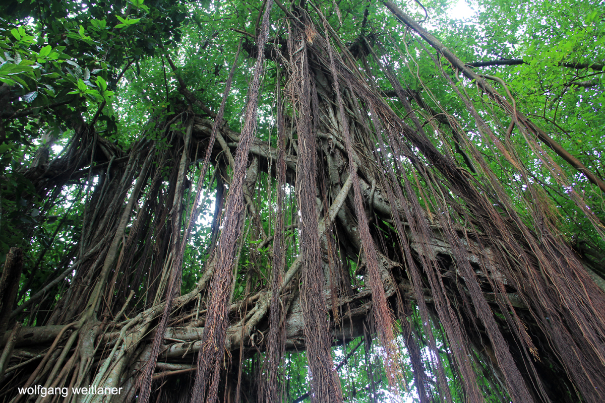 Aitutaki Cook Inseln, Banyan tree