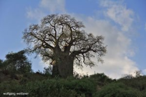 Baobab, Lake Manyara Nationalpark, Tansania