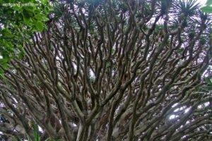 Kanarischer Drachenbaum, Gran Canaria, Kanarische Inseln
