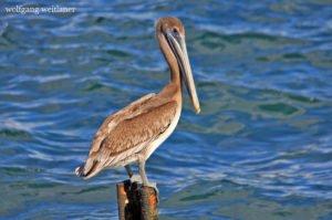 Pelikan, Am Malecon, Havanna, Kuba