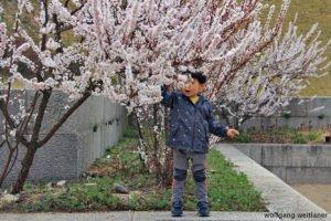 Im Blütenregen, Kirschblütenfest, Gangneung, Korea