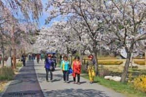 Spaziergang zum Kirschblütenfest, Gangneung, Südkorea