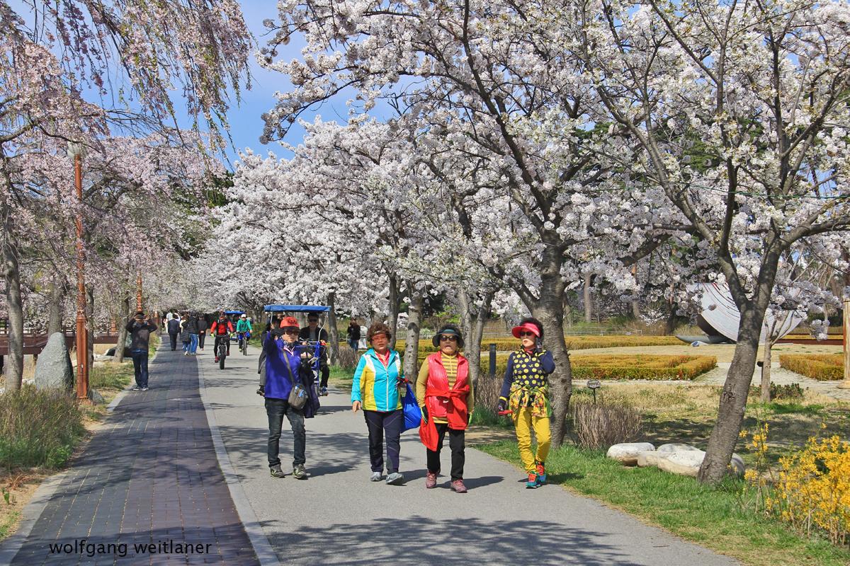 Gangneung - Kirschblütenfest, Korea