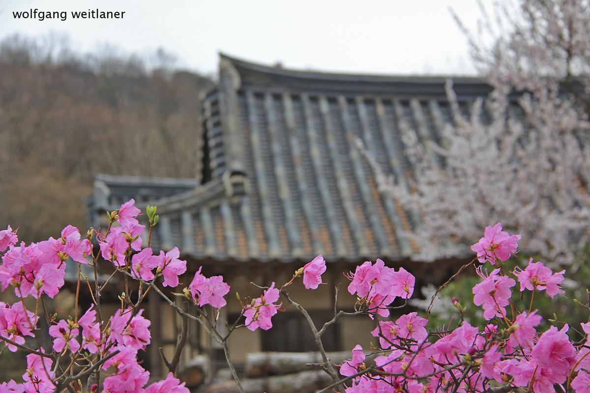 Gangneung,  Kirschblüte, Korea