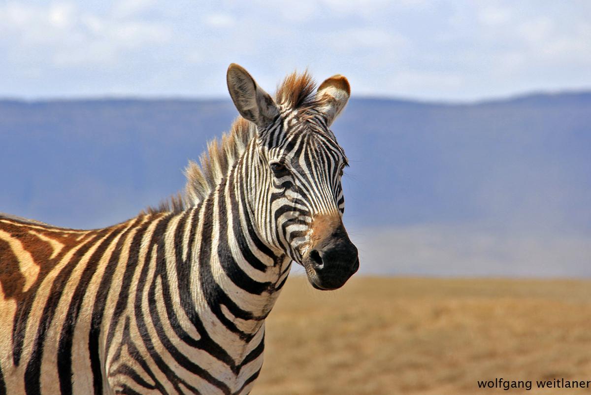 Zebra, Ngorongoro Krater Conservation Area, Tansania