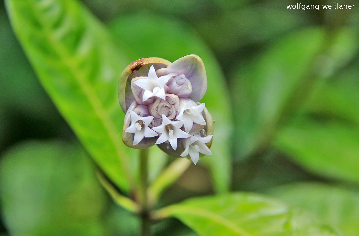 Blüte Dominica