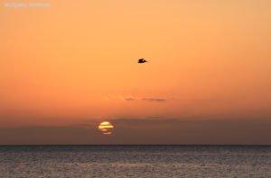 Pelikans Abendflug, Picard Beach, Portsmouth, Dominica