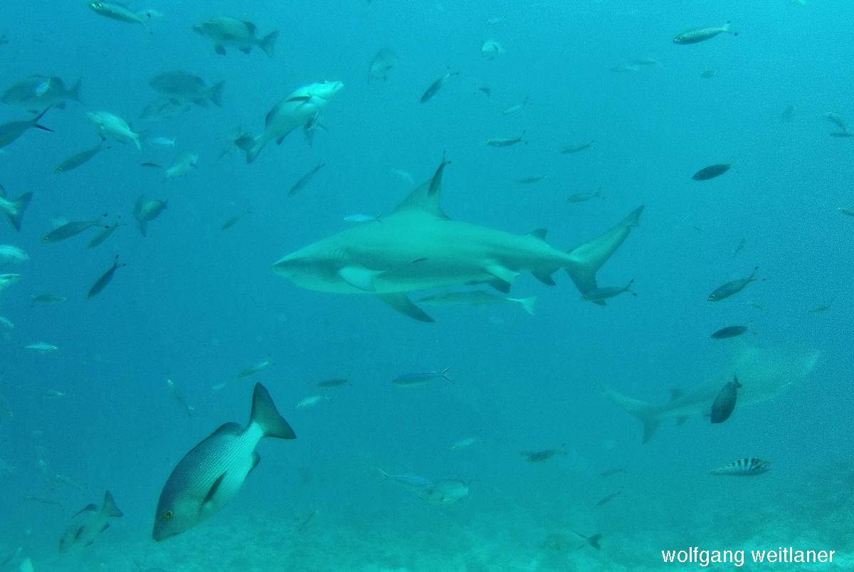 Haifütterung- Sharkfeeding -Barefoot Kuata, Fiji