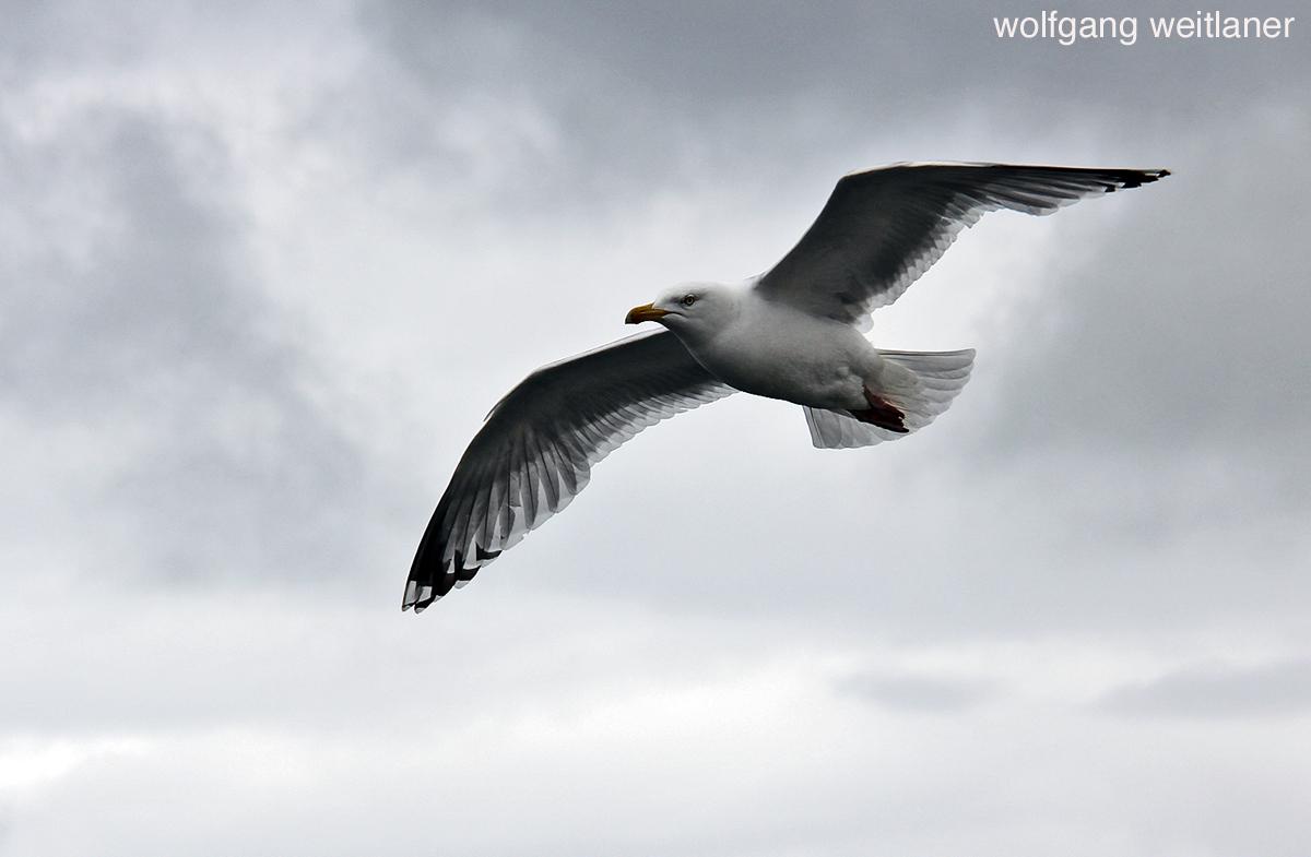 Möwe Flug